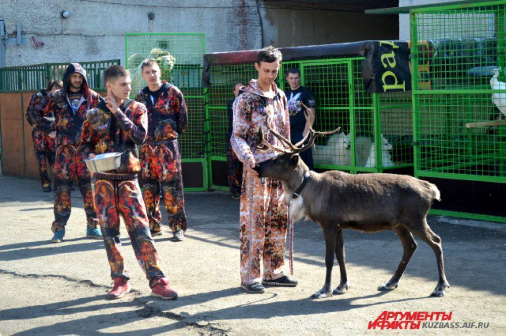 Северный олень тоже выступает в цирке.
