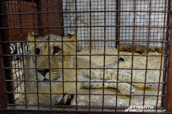 Лигр - помесь льва и тигра.