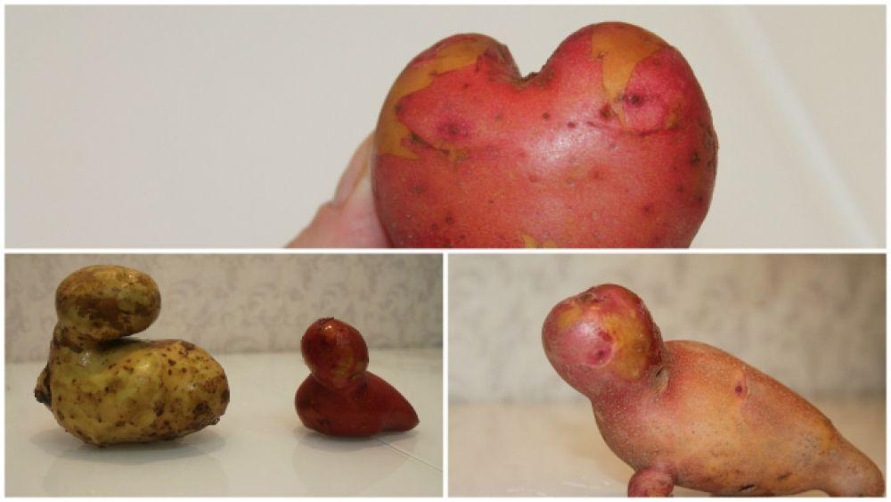 Полина Ягодина: «Вырос наш урожай на приусадебном участке в г. Чайковский. Уродилось у нас сердце картошечное, уточки и тюлень!»