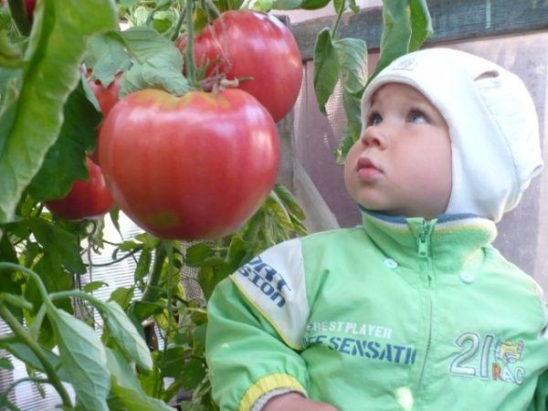 Алексей Кунгурцев, поселок Медведка: «Такие помидоры растут у бабушки Гали».