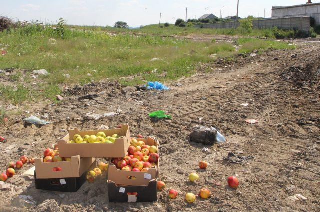 Уничтожение яблок (архивное фото).