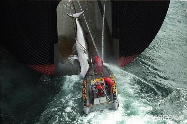 Активисты Гринпис висят на крючке японского китобойного судна, пока мёртвого кита поднимают на борт. В 1982 году Гринпис добился рассмотрения Международной китобойной комиссией моратория на коммерческую охоту на китов, который с 1986 года вступил в силу.