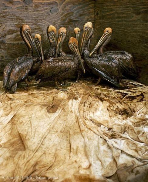 В 2010 году в Мексиканском заливе произошла одна из самых крупных техногенных катастроф в истории человечества. Это снимок из Международного научно-исследовательского центра Форт Джексон: пеликаны в специальном загоне ждут, когда волонтёры центра очистят их от нефти.
