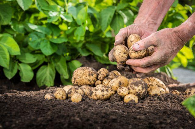 Картинки по запросу картошка в поле