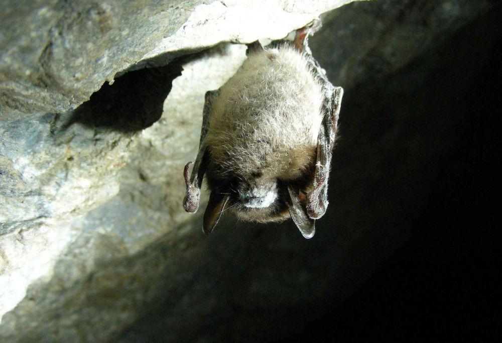 Некоторые виды летучих мышей зимой впадают в столь глубокую спячку, что в несколько раз снижают температуру тела и скорость сердцебиения и даже могут обледенеть. Если побеспокоить мышей во время зимней спячки, они могут погибнуть. Поэтому зоозащитники рекомендуют южноуральцам быть особенно внимательными при посещении пещер с сентября по март.