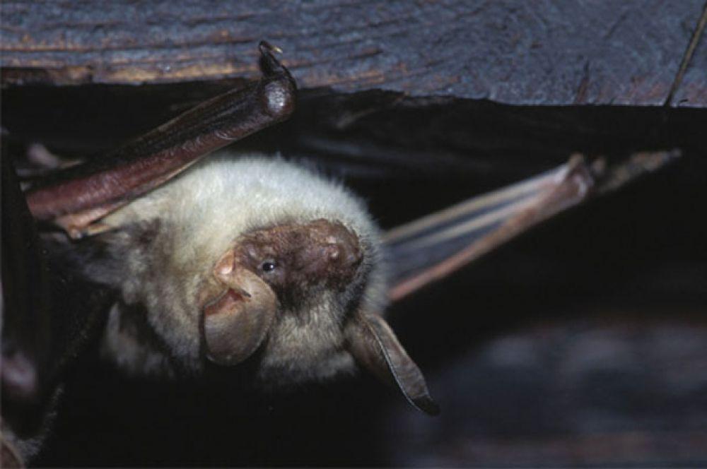 Летучие мыши водятся повсюду, кроме крайнего севера, тундры и некоторых островов. В России обитают около 40 видов этих животных, 6 из них занесены в Красную книгу Челябинской области.