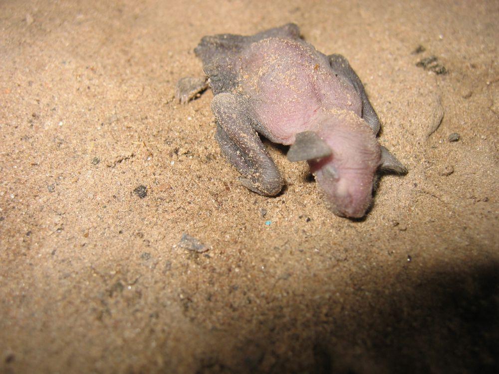 Первые несколько недель жизни летучие мышата беспомощны, и самка всюду носит их с собой.
