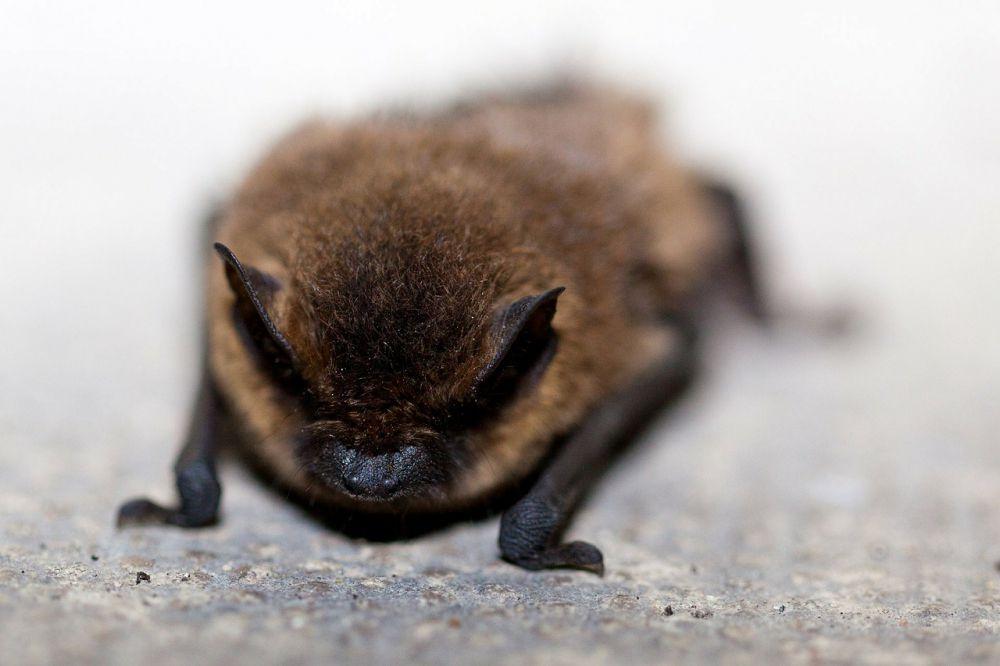 Среди 1200 видов рукокрылых только 3 питаются кровью. Вампировые летучие мыши обитают в Центральной и Южной Америке, в размерах не превышают 9 см и добывают себе пищу подобно пиявкам: незаметно и безболезненно присасываются к теплокровному животному, пока оно спит. Один вампир за раз выпивает около 40 граммов крови – почти столько же, сколько весит сам.