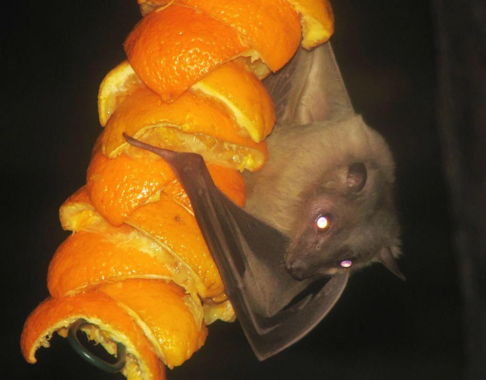 Летучие мыши опыляют баобабы, некоторые виды лиан и кактусов.