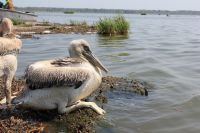 В конце сентября пеликаны улетят на зимовку в тёплые страны.