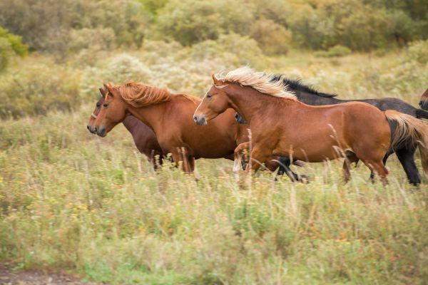 Лошади и коровы в долине Тигирека пасутся на воле. Они практически не бывают в загоне.