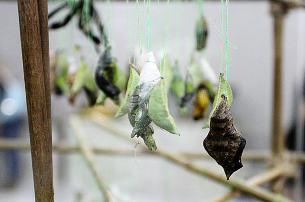 Это не сухие листья и не растения. Это - ещё не родившиеся бабочки, которые совсем скоро будут выглядеть иначе.