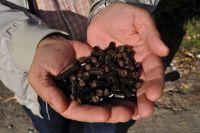Биотопливо из древесины лиственных пород имеет на тридцать процентов больше теплоотдачи, чем обычный. Внешне они также отличаются от светлых древесных гранул и имеют черный цвет.