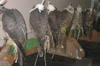 14 редких соколов находились в двух дорожных сумках.