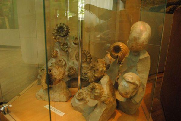 Аммониты в экспозиции музея.