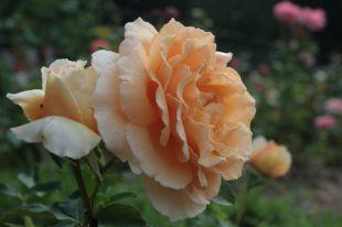Любимая роза мира Just Joey.