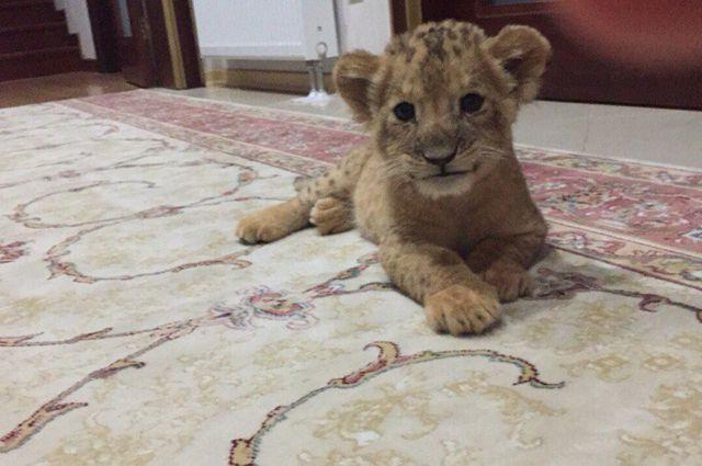 Фото этого львёнка корреспондент «АиФ» получил от одного из продавцов экзотических животных.
