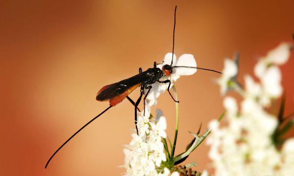 7-е место - паразитирующие насекомые из семейства Braconidae.