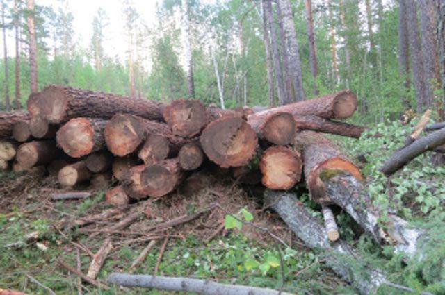 Незаконная вырубка леса в Приангарье.