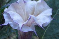Цветок дурмана обыкновенного.