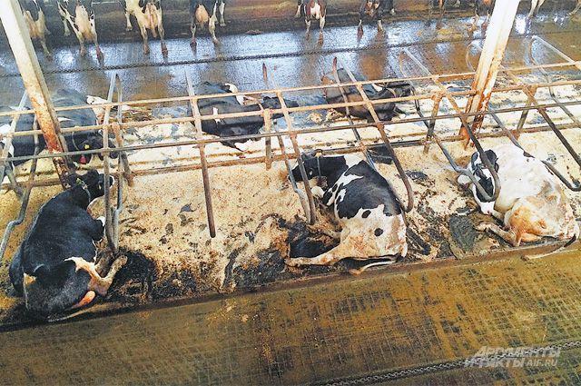 В ангарах, где коровы лежат, явно не разгуляешься, а депрессивные доильные цеха не настраивают на позитивный лад.