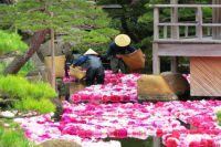 В саду Юсиэн круглый год цветут около 250 видов пионов. Каждый день работники сада меняют увядшие цветы, плавающие в воде, на свежи