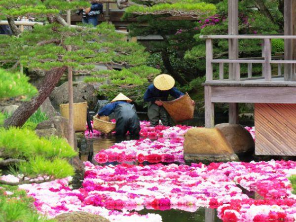 В саду Юсиэн круглый год цветут около 250 видов пионов. Каждый день работники сада меняют увядшие цветы, плавающие в воде, на свежие