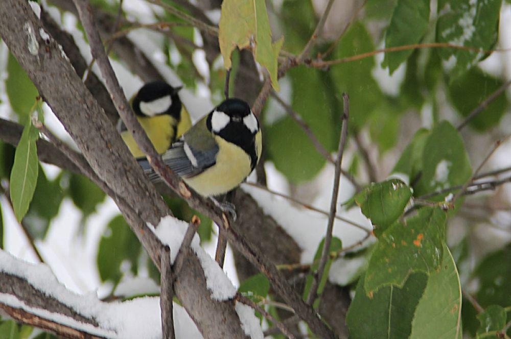 Синички осознали все трудности предстоящей зимы.