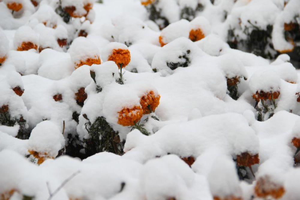 Клумба с бархотками под снегом