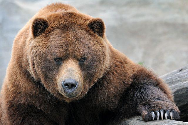 В Апатитах в Дом престарелых пришел медведь. Пришлось вызывать полицию