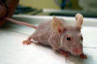 Голая мышь.