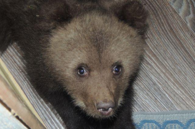 С помощью сети полугодовалого медвежонка поймали, поместили в деревянный ящик и вывезли в лес.