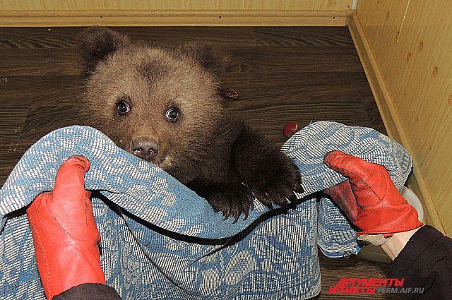 В Приморье ловят по медвежонку почти каждый день.