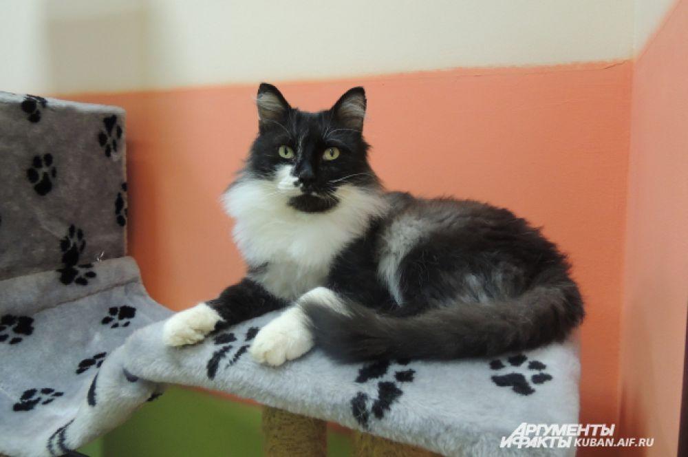 Этого серьезного кота зовут Гектор. Он очень ручной, послушный и любит маленьких детей.