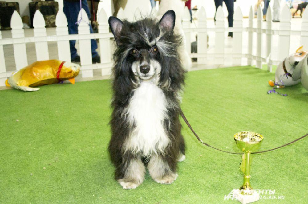 Китайская хохлатая собака Яшка
