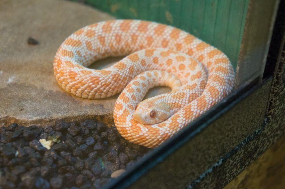 Свиноносая змея умеет притворяться мертвой.