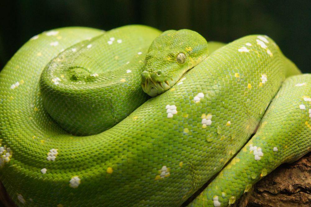 Зеленый пион в юном возрасте обычно желтого или красного цвета.