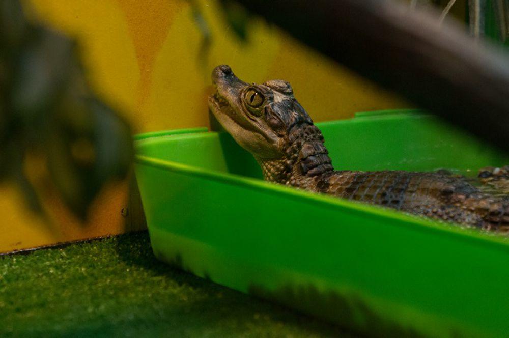 Кайман крокодиловый отличается от настоящего крокодила строением зубов.