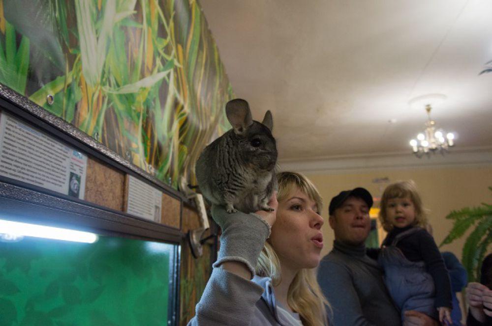 Шиншилла постепенно становится домашним животным.