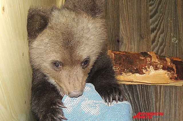 Медвежат кормят овсяной кашей и сгущенным молоком.