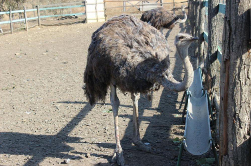 Активны страусы преимущественно в сумерках, в сильный полуденный зной и ночью они отдыхают. Ночью птица либо ложится на землю с вытянутой шеей, либо сидит с поднятой шеей и закрытыми глазами в полудрёме.