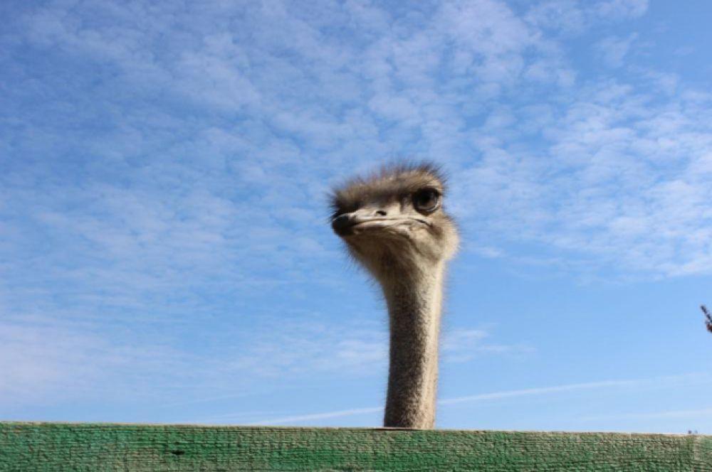 Страус – птица глуповатая, но очень осторожная. Увидеть движущийся объект они могут за километр: у этих птиц отлично развито зрение.