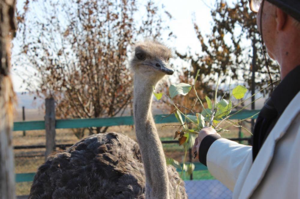 Зоба у страуса нет, но шея очень растяжима и они могут заглатывать довольно крупную добычу целиком. Это единственные птицы в мире, у которых есть мочевой пузырь.