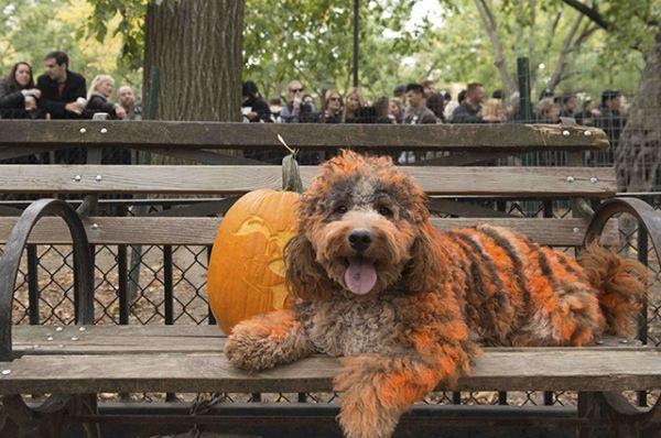 Собака по кличке Сэмпсон позирует для фото с тыквой.