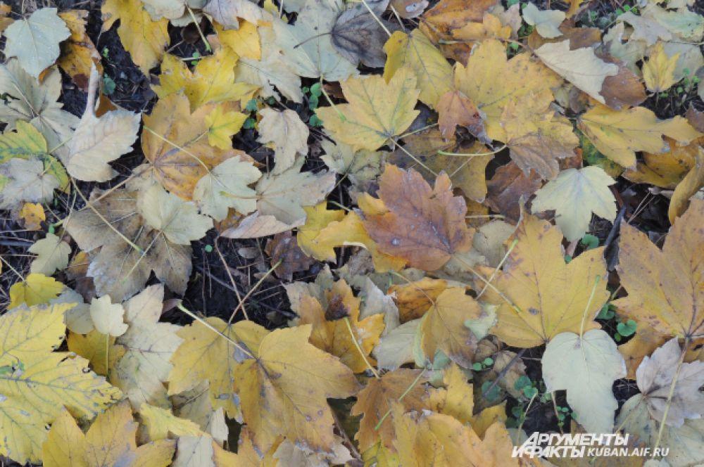 Пестрый ковер из желтых листьев украшает парки и скверы Краснодара.