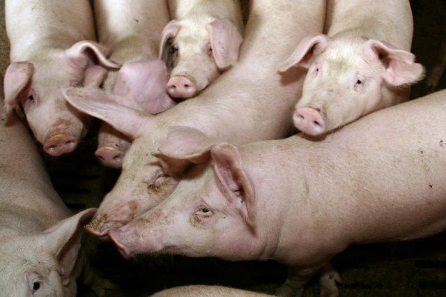 Свинокомплекс рассчитан на 83 тысячи голов в год.