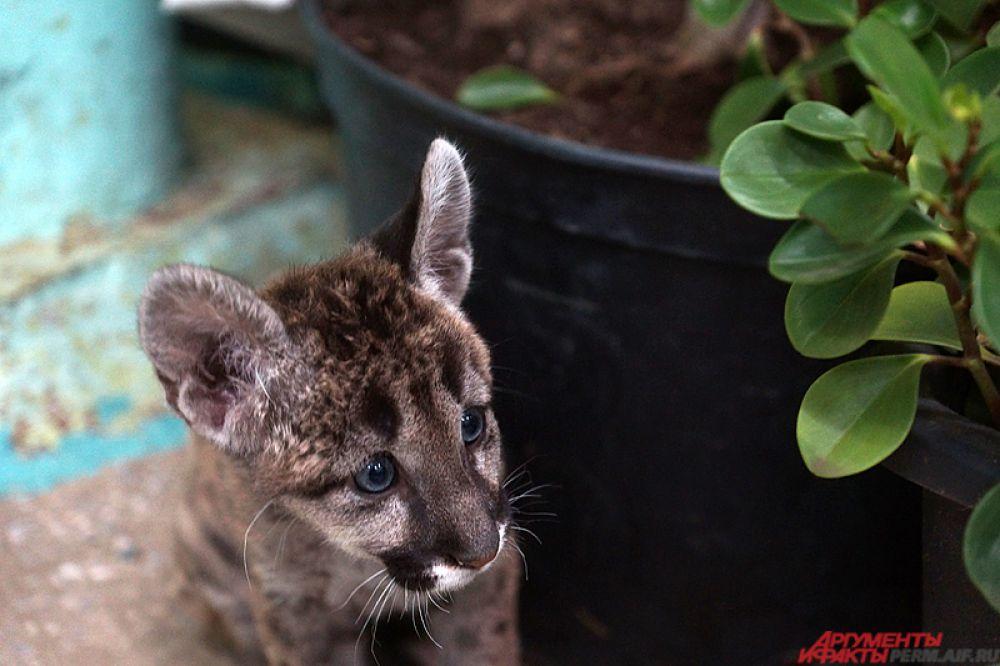 Через два месяца Мия окрепла, и ее перевезли в пермский зоопарк.