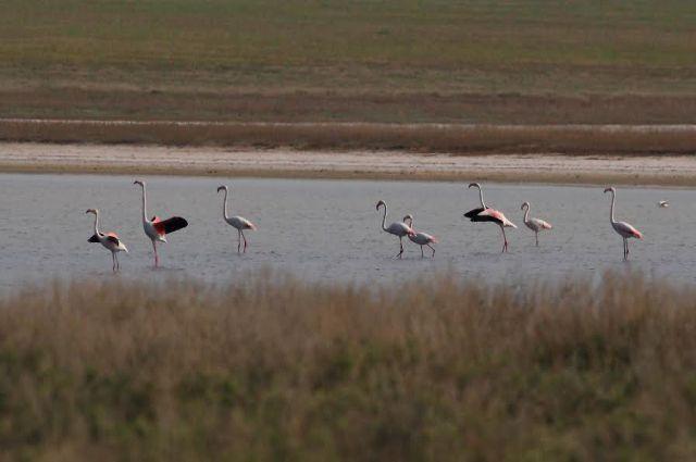 Колония фламинго в казахском Коргалжыне. Для южных стран это привычное зрелище, но в России экзотические птицы селятся очень редко.