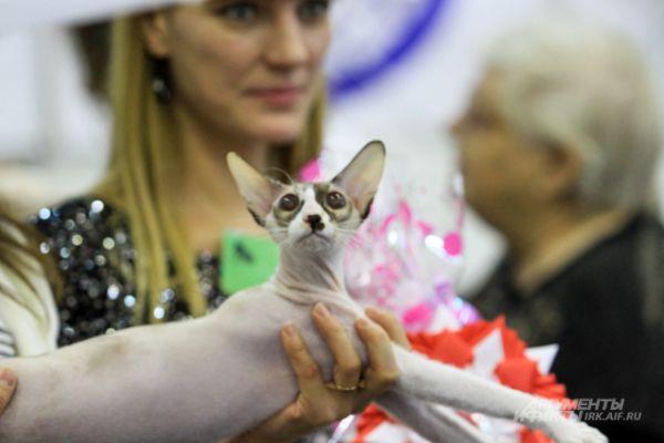 В рамках выставки прошло несколько соревнований, в которых на равных участвовали титулованные питомцы и молодые коты и кошки.