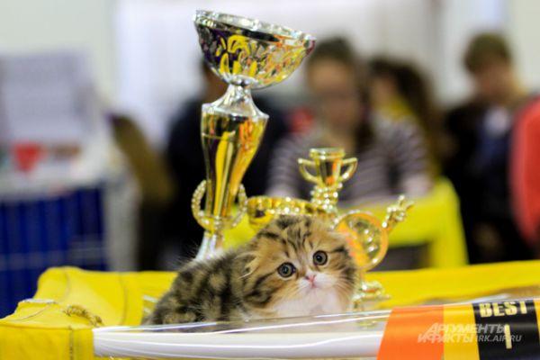 Несмотря на юный возраст, котенок уже завоевал массу наград.